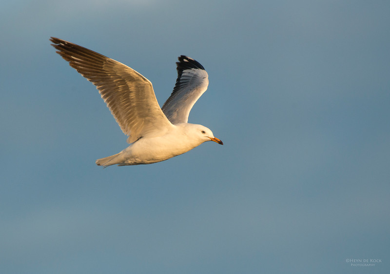 Silver Gull, Wollongong, NSW, Aus, Jul 2013-1.jpg