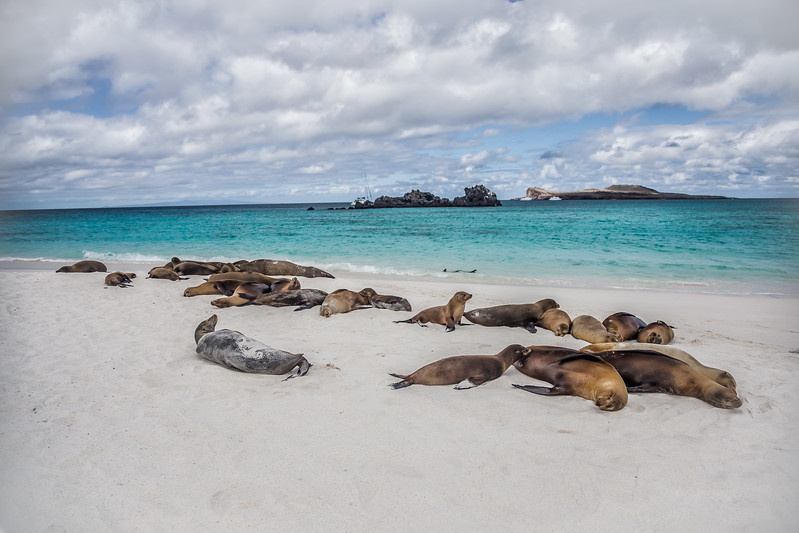 Galapagos Islands Animals - Sea Lions - Lina Stock