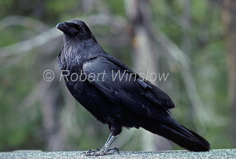 Common Raven, Corvus corax, Grand Teton National Park, Wyoming, USA, North America, Order PASSERIFORMES - Family CORVIDAE
