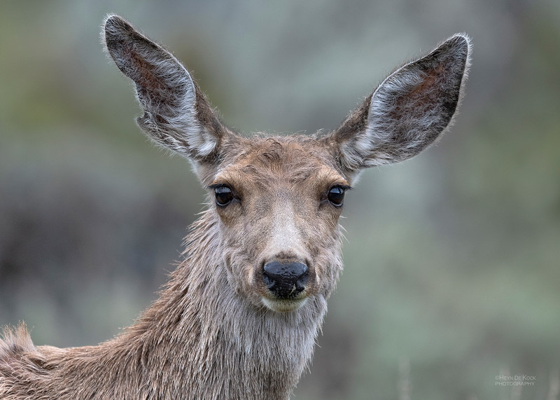 Mule Deer, Yellowstone NP, WY, USA May 2018-2.jpg