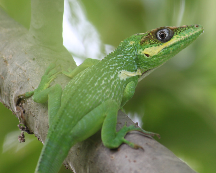 cuban knight anole