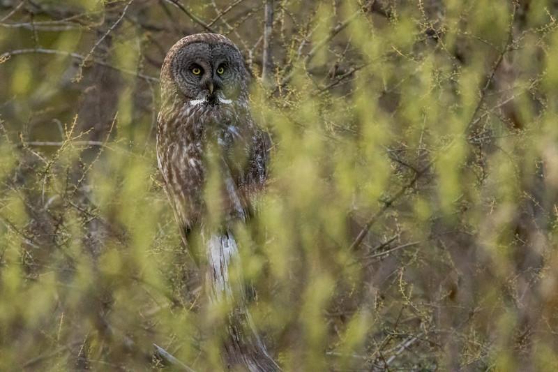 Great Gray Owl McDavitt Road Things that Go Buzz, Croak, Hoot & Bump in the Night Sax-Zim Bog MN  IMGC6743.jpg