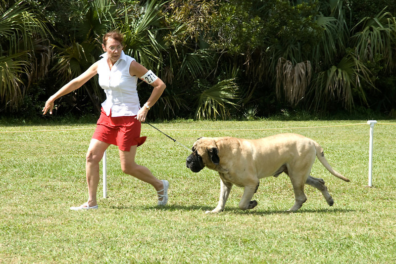 This Mastiff competed in the Working Group conformation judging.