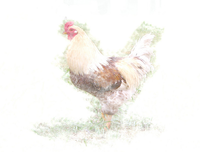 Janice's 2009 070 rooster 1 copy.jpg