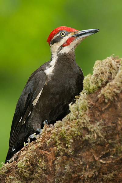 Pileated Woodpecker, they show up every day but I still get excited seeing them there such a special bird.