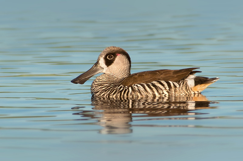 Pink-eared Duck - Malacorhynchus membranaceus (Western Treatment Plant, Vic)