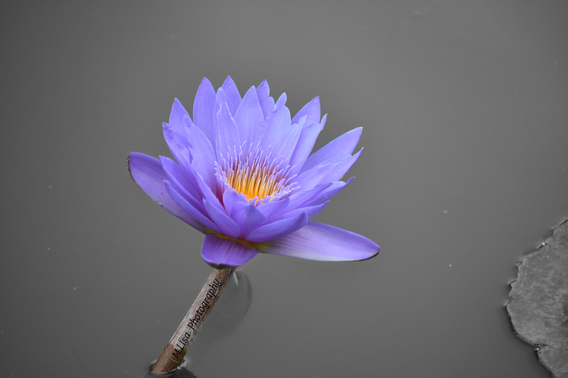 Purple Water Flower 2.jpg