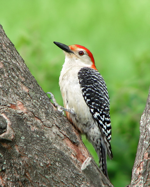 res_bellied_woodpecker_5814.jpg
