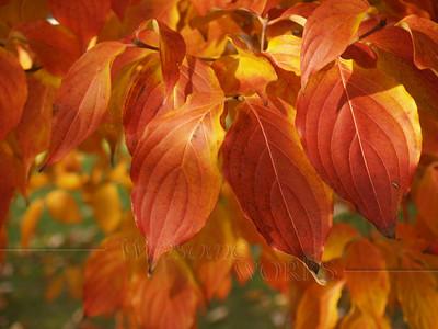 Dogwood in Autumn Craze