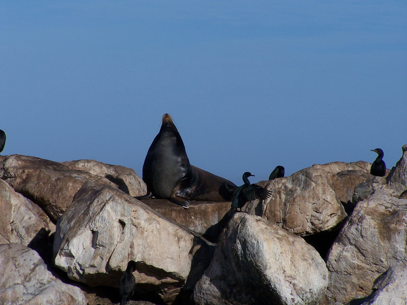 California Sea Lion and cormorants