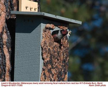 Lewis'WoodpeckerA77095.jpg