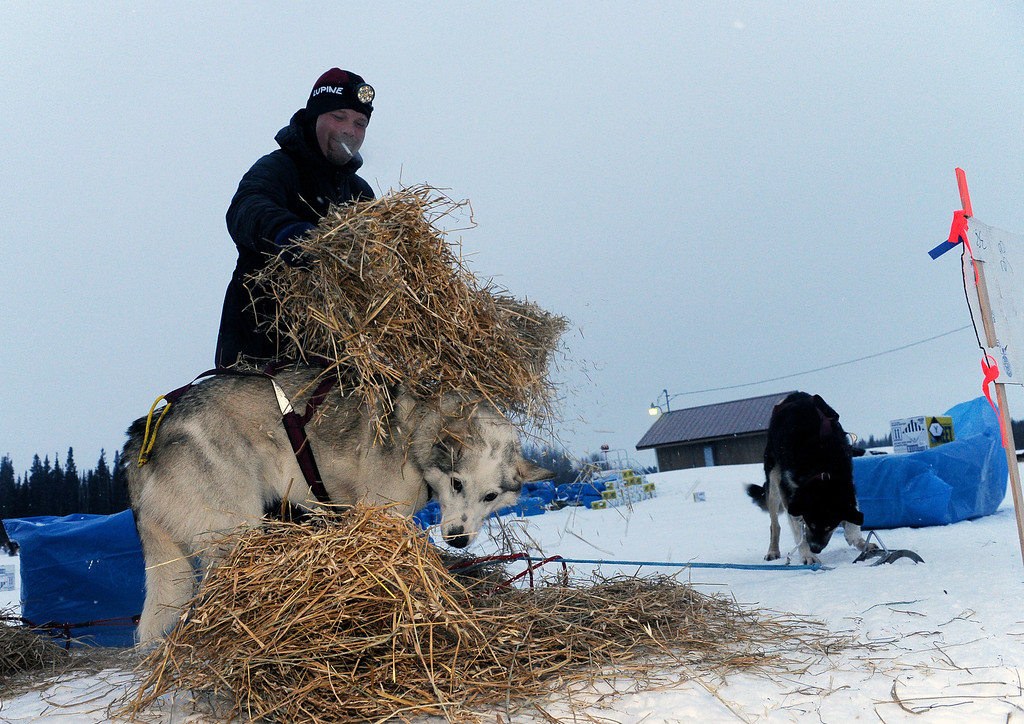 . Aaron Burmeister puts straw down for his dogs at the Nikolai checkpoint during the 2014 Iditarod Trail Sled Dog Race on Tuesday, March 4, 2014, in Nikolai, Alaska. Burmeister injured his knee about 18 miles past the Rohn checkpoint on the snowless Farewell Burn. His knee popped out and he had to tape it up so it would stay in place. (AP Photo/The Anchorage Daily News, Bob Hallinen)