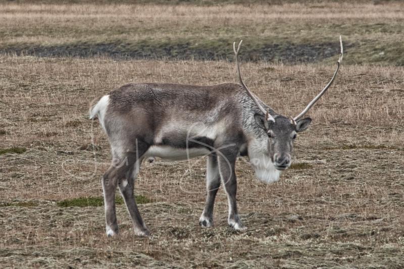 Elk-1.jpg