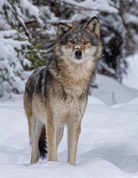 Timber Wolf CR52-Arkola Road just west of Cotton Sax-Zim Bog MN Copy 1 IMGC5973.jpg