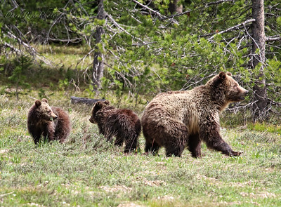 Yellowstone National Park Bears 2018