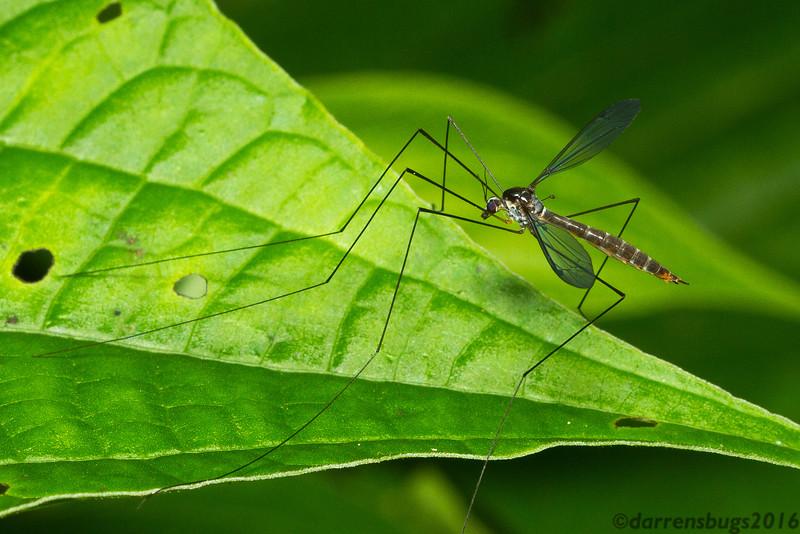 Cranefly (Tipulidae) from Panama.