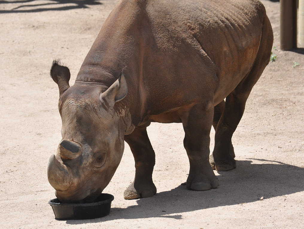 . The black rhinoceros at the Cheyenne Mountain Zoo in Colorado Springs is a popular attraction.  Photo provided by Cheyenne Mountain Zoo