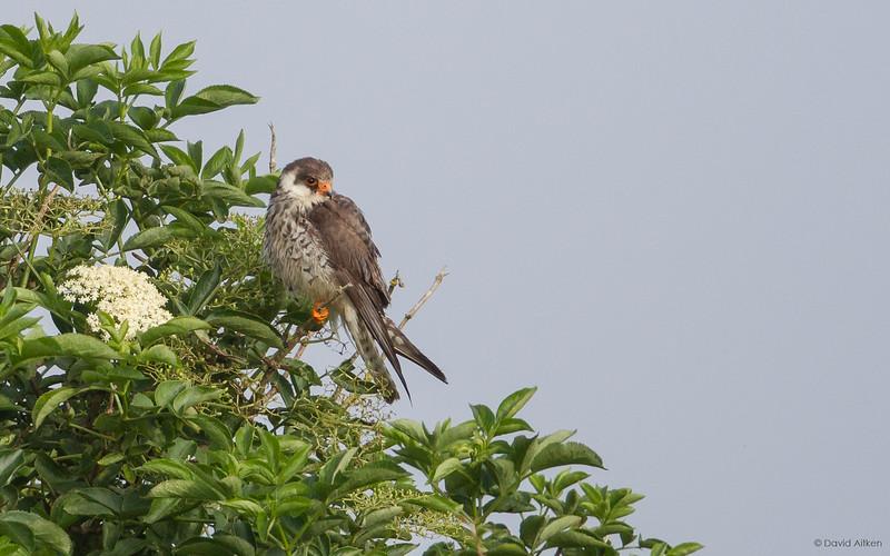 Amur Falcon - Polgigga, Cornwall 07/07/17