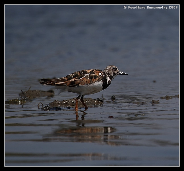 Ruddy Turnstone in breeding plumage, Robb Field, San Diego River, San Diego County, California, August 2009