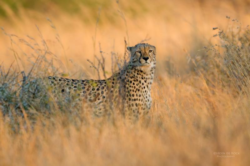 Cheetah, Pilansberg, SA, Sept 2016.jpg