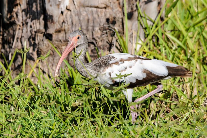 Ibis - White - juvenile - Bailey Tract - Sanibel Island, FL