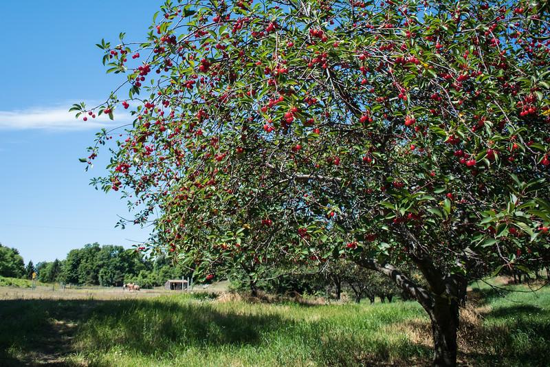 Cherries everywhere and ripe