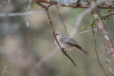 Flycatcher, African Grey (spp. neumanni)