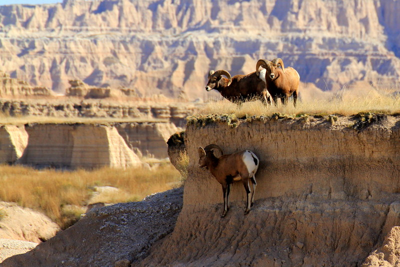 Big Horn Sheep Cliff.jpg