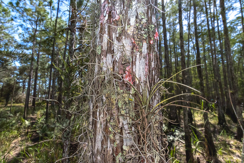 Cypress tree trunk with various epiphytes growing on it