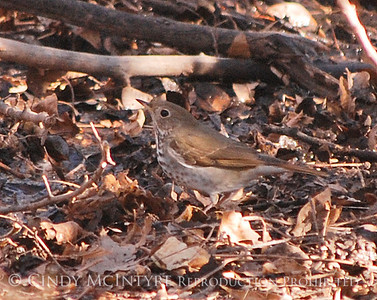 Big Bend Thrushes