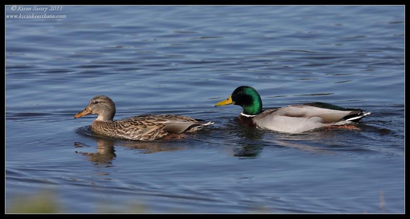 Mallard pair, Lake Murray, San Diego County, California, December 2011
