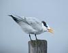 royal tern juvenile calls dpft 11-11-15
