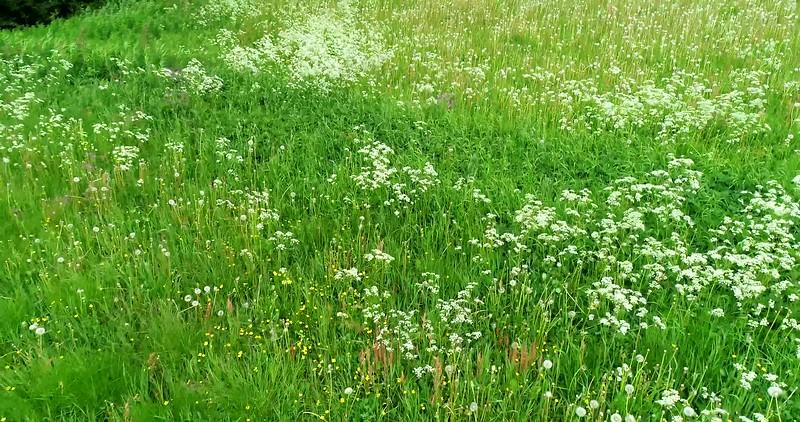 Aerial: low flight looking down over a flowering meadow