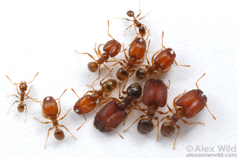 Pheidole tepicana is an unusual species from North America that is unusual in having three physical worker morphs.   Arizona, USA
