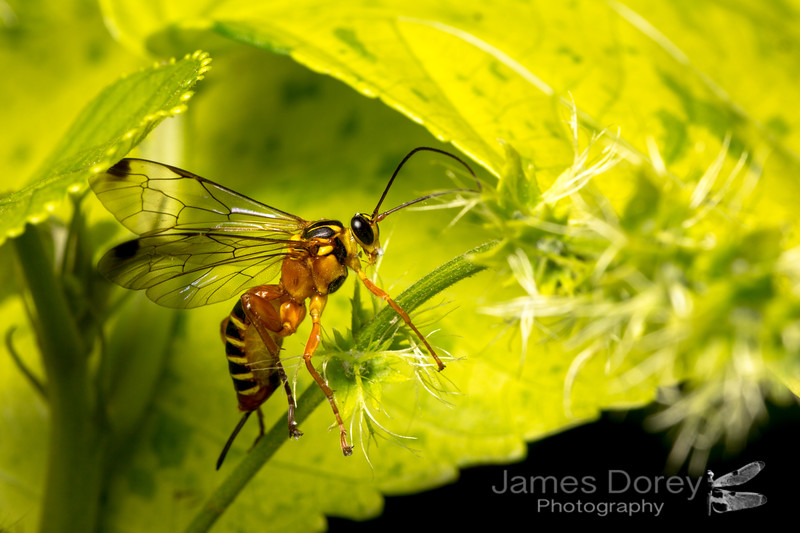 Yellow-banded Ichneumon Wasp (Echthromorpha agrestoria)