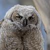 Cranky Owl Chick