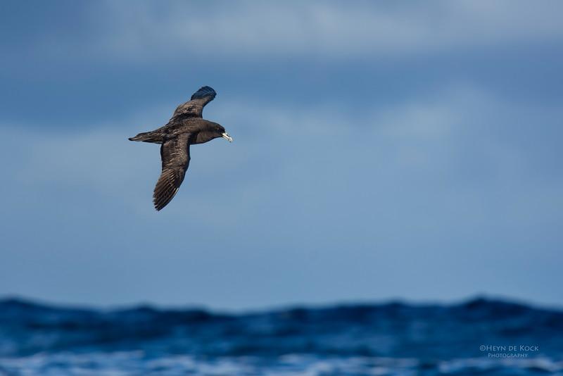White-chinned Petrel, Eaglehawk Neck Pelagic, TAS, May 2016-1.jpg