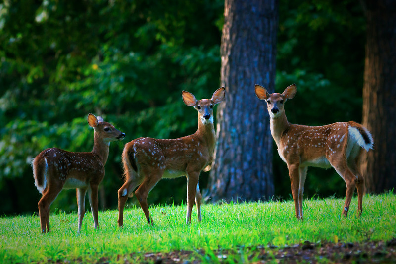 7.24.18 - Prairie Creek Recreation Area: Whitetail Deer Fawns