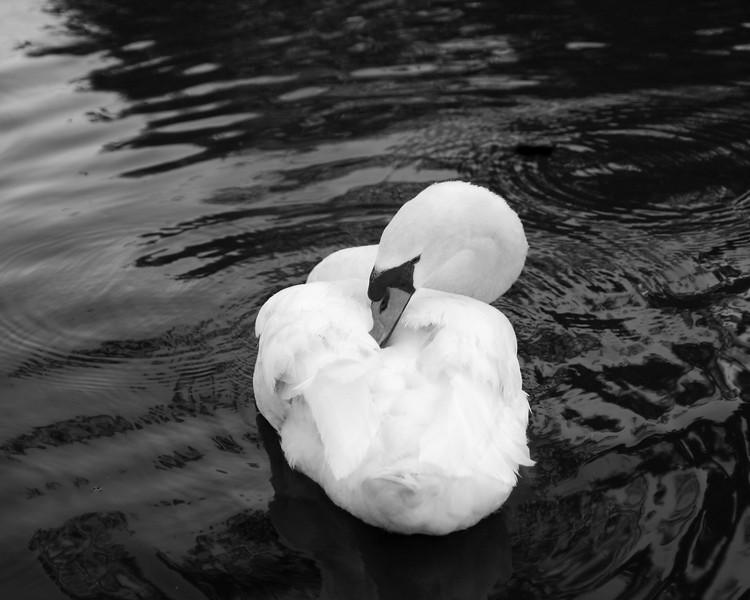 Swan1-.jpg