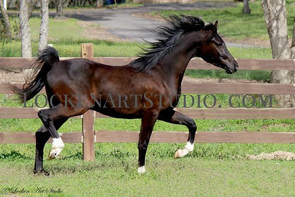 Major - Arabian Colt March 2018
