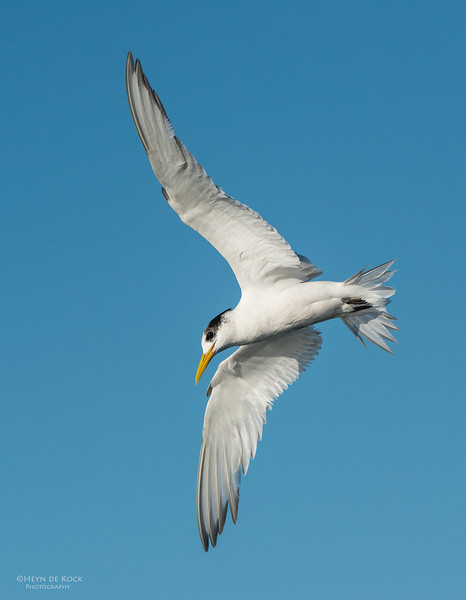 Crested Tern, Wollongong Pelagic, NSW, Aus, May 2013.jpg