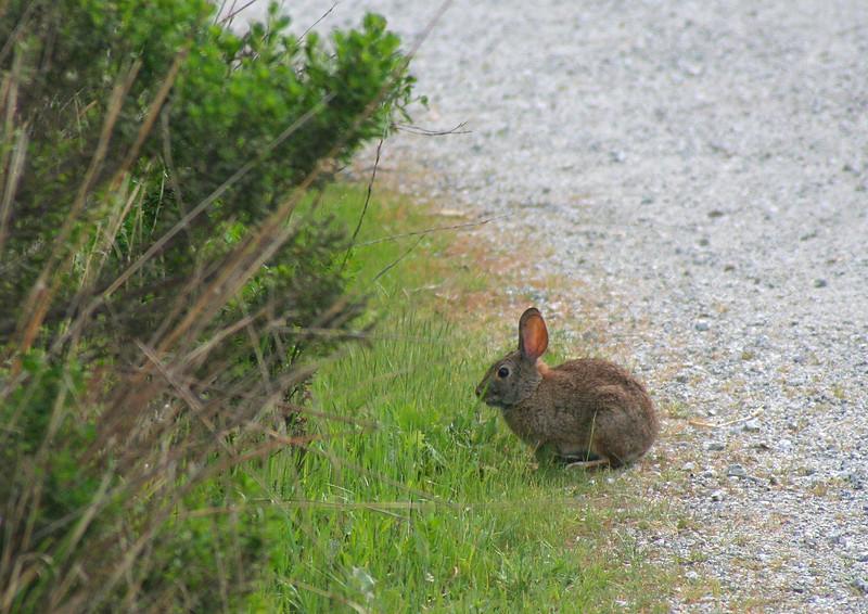 4558 Rabbit.jpg