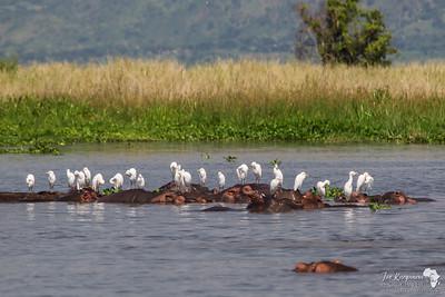 Egrets cruise the Nile