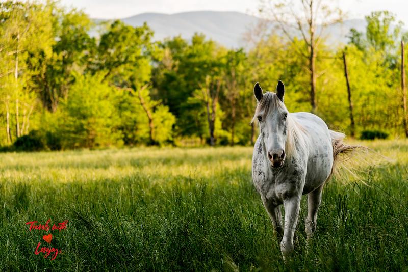 White horse in field copy.jpg