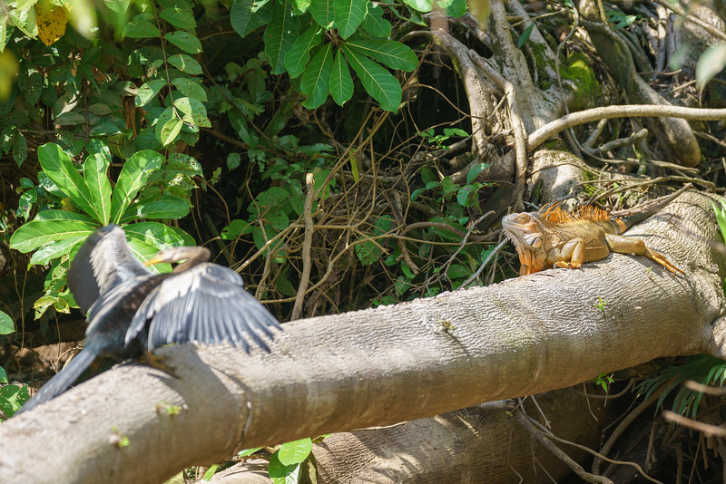 Anhinga and Iguana Meet