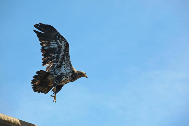molting eagle in flight