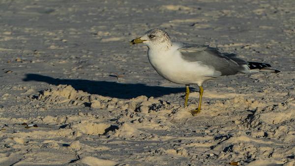 Gulf Shores 2017-02-01