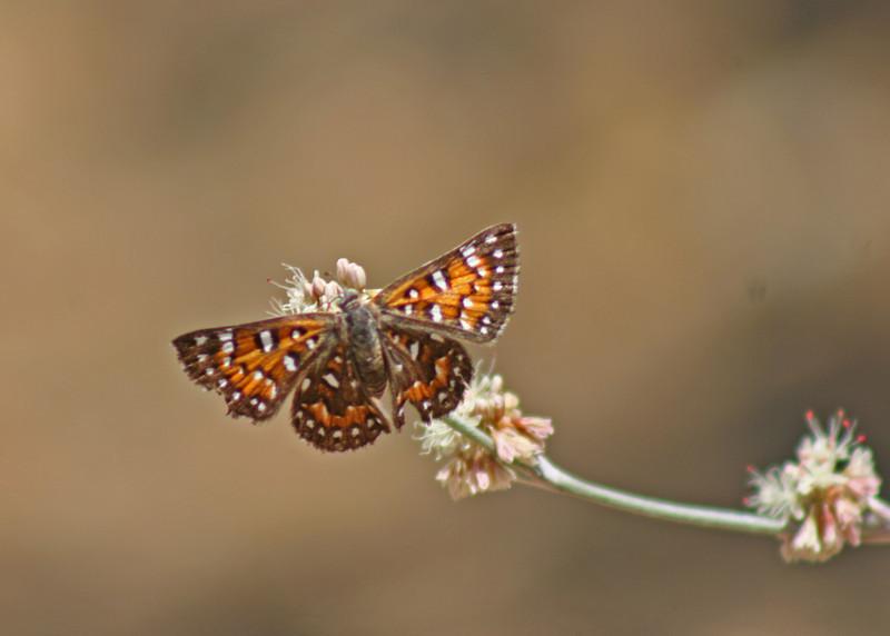 8/13/10 Mormon Metalmark (Apodemia mormo) on Longstem Buckwheat (Eriogonum elongatum). Kyle Court, La Cresta, Murrieta, Riverside County, CA