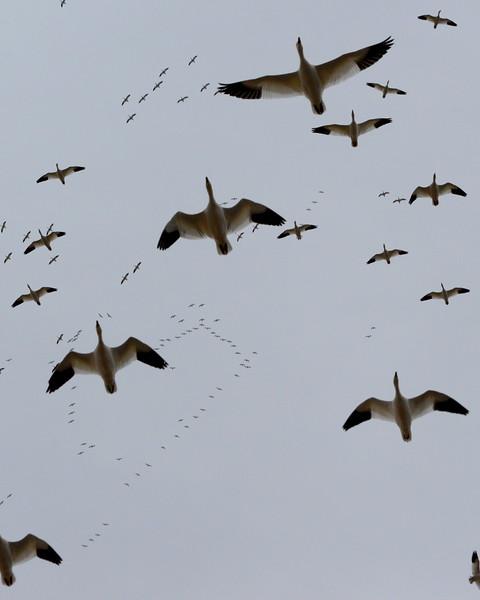 Snow Geese 24 03_13_19.JPG