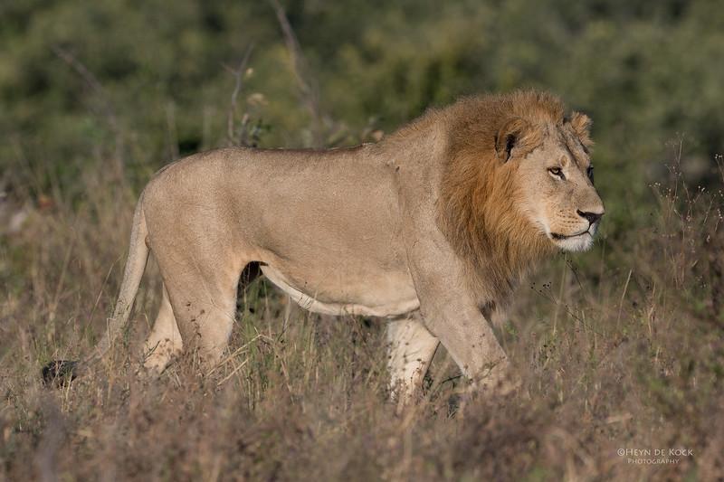 African Lion, Savuti, Chobe NP, Botswana, May 2017-6.jpg